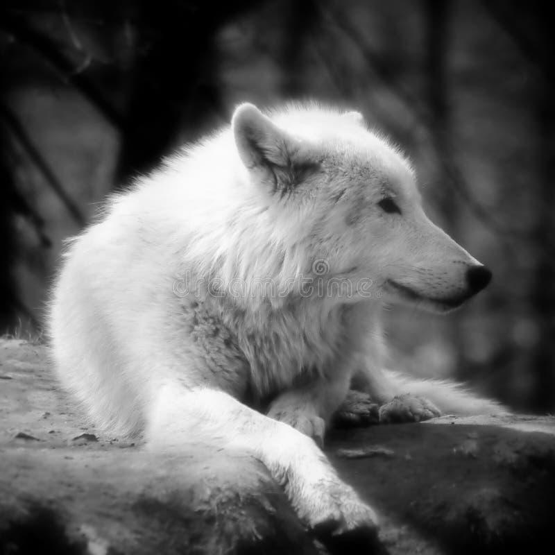 BW ártico del lobo fotografía de archivo