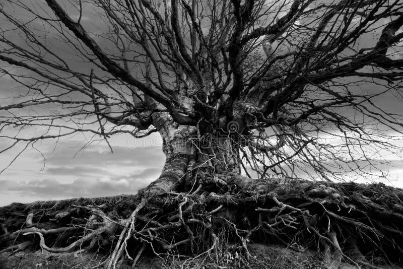 bw-Baum lizenzfreies stockfoto