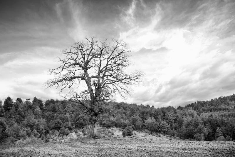 bw tree royalty free stock photos