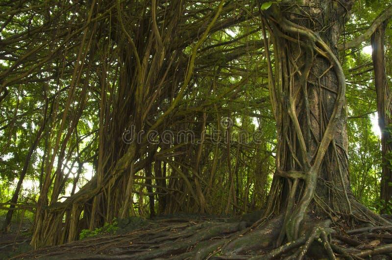 Banyan tree forest. stock photos