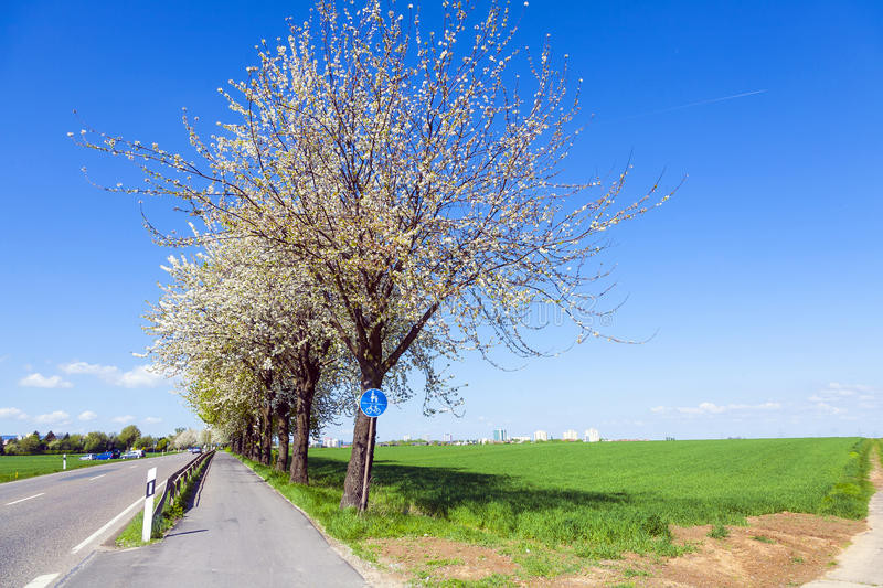 Bycicle Lane Under Blooming Tree Stock Photography