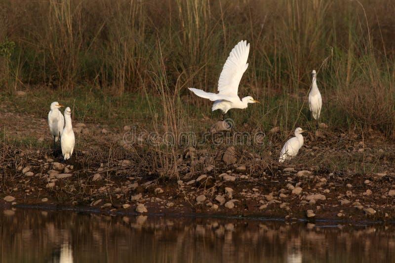 Bydło Egrets zdjęcia stock