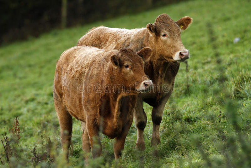 bydła Devon rodowodu południe obrazy stock