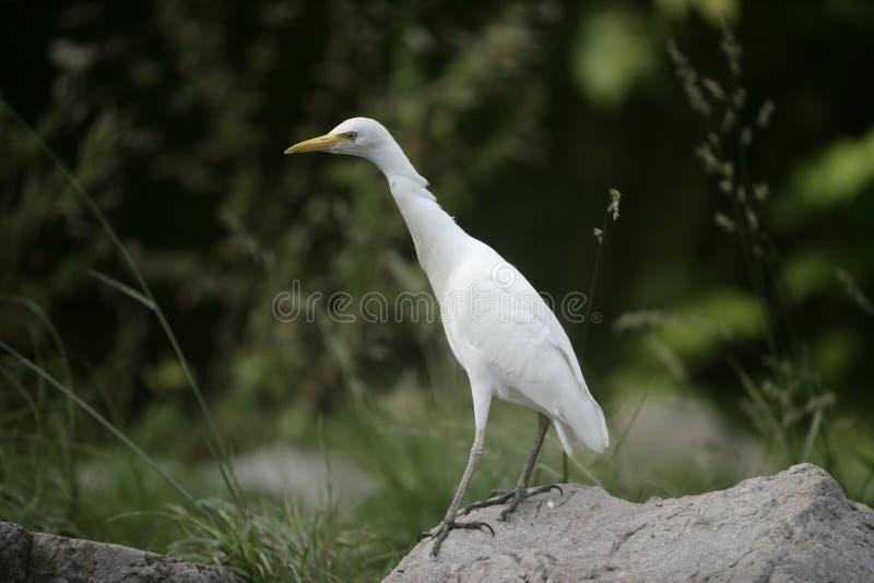 Bydła egret, Bubulcus ibis obraz stock