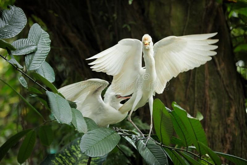 Bydła egret koperczaki pokaz zdjęcia royalty free