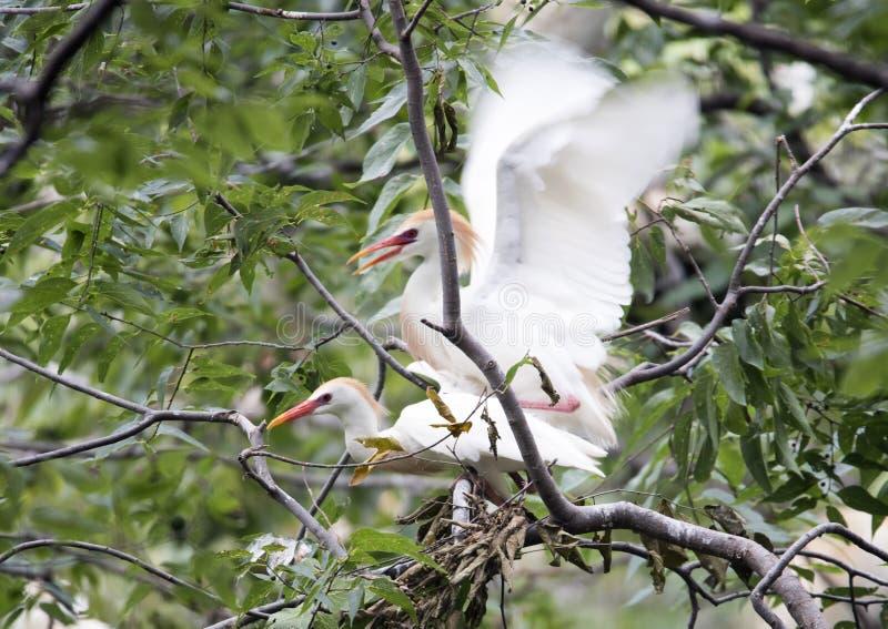 Bydła egret kotelnia fotografia royalty free