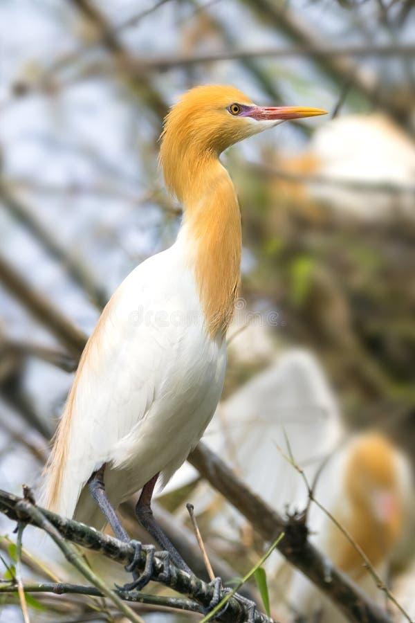 Bydła egret znajdują w bambusowych drzewach nadjeziorny Pokhara Nepal zdjęcia royalty free