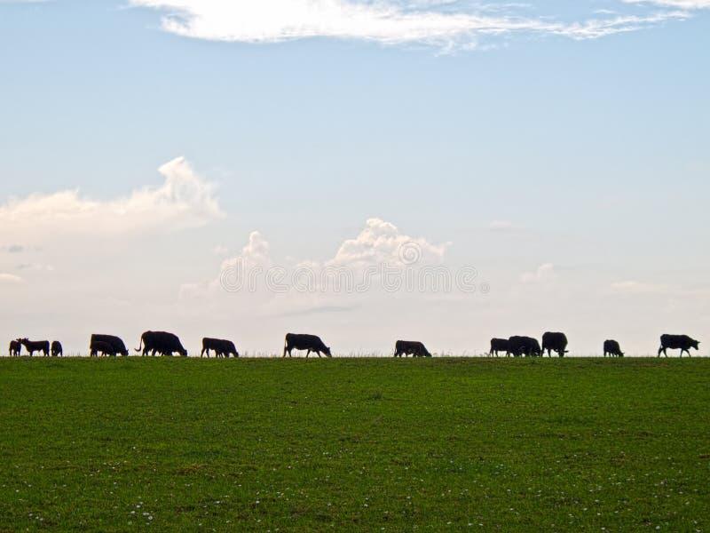 bydła pasania sylwetka zdjęcie royalty free