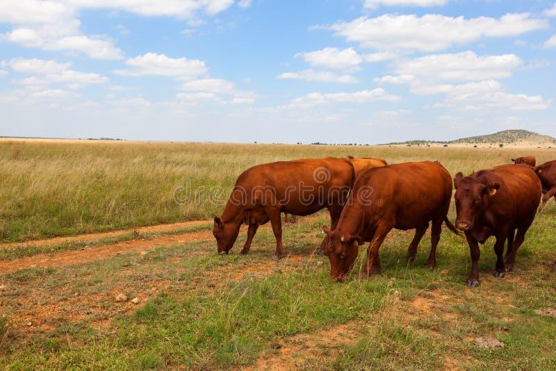 Bydła pasanie w trawiastym terenie obraz stock