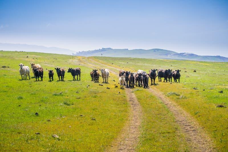 Bydła stado blokuje wycieczkuje ślad na paśniku w w górę wzgórzy, południowa San Francisco zatoka, San Jose, Kalifornia fotografia royalty free