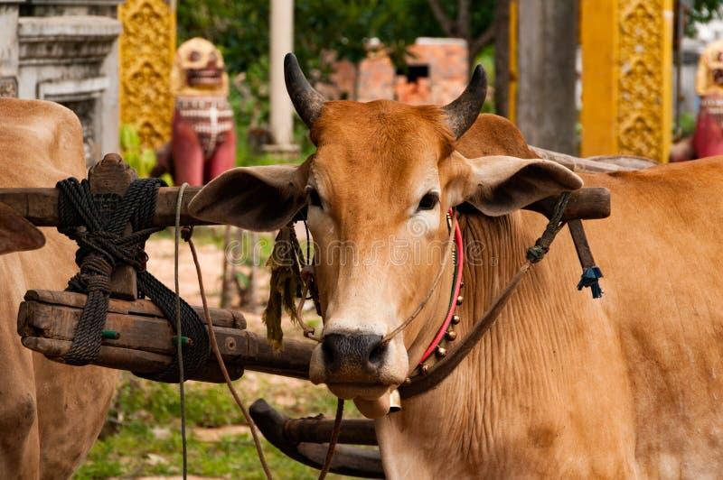 Bydło Ciągnie fury blisko Tonle Aprosza jeziora, Kambodża, Indochina zdjęcie royalty free