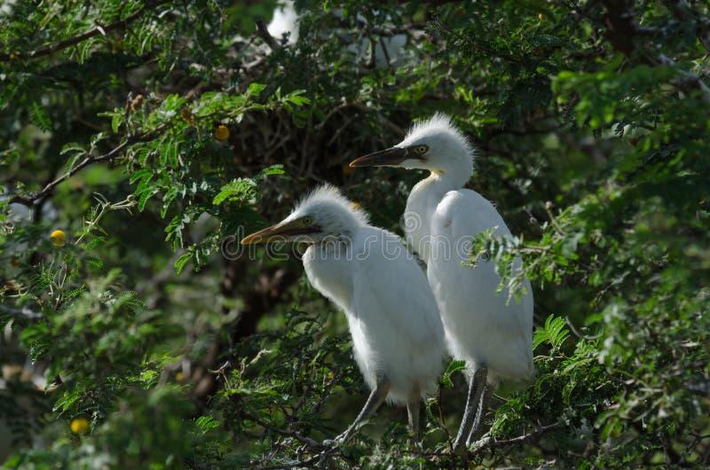 Bydło Egrets obrazy stock