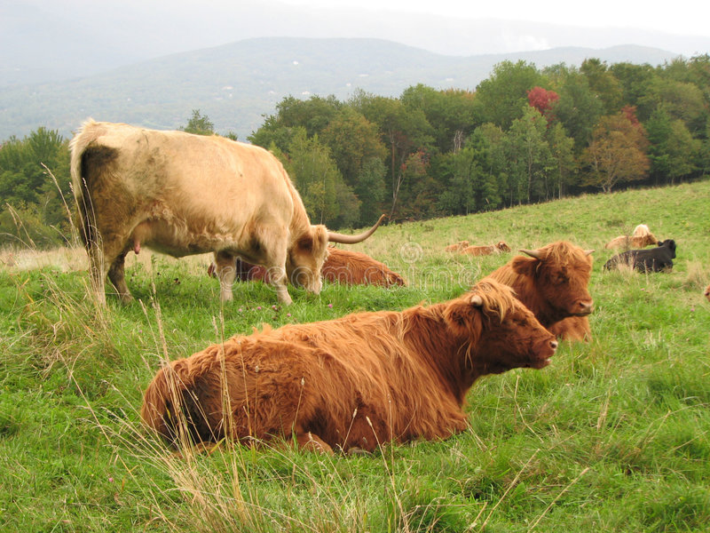 bydło highland szkocki ameryki obrazy stock