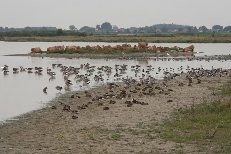 Bydło i ptak rewizja dla chłodzić wpólnie podczas gorącego lata zdjęcie royalty free