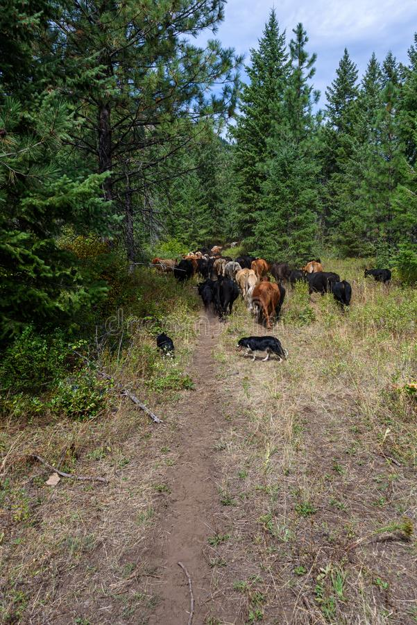 Bydło jeździ z perspektywy strażnika, przygraniczni pułkownicy pomagający stadom przez las, stan Waszyngton Wschodni obrazy stock