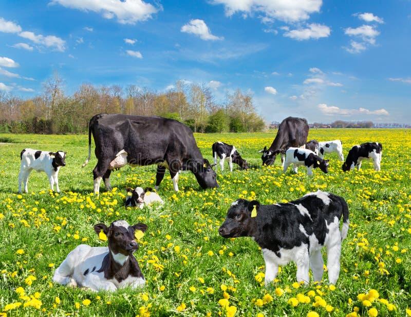 Bydło krowy i łydki w holenderskiej kwiat łące fotografia royalty free