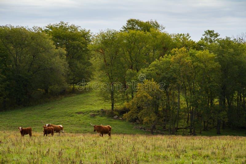 bydło longhorn Teksas obraz stock