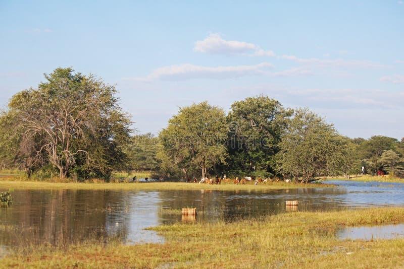 BYDŁO PRZEZ rzekę Z RYBIMI oklepami W przedpolu zdjęcia stock