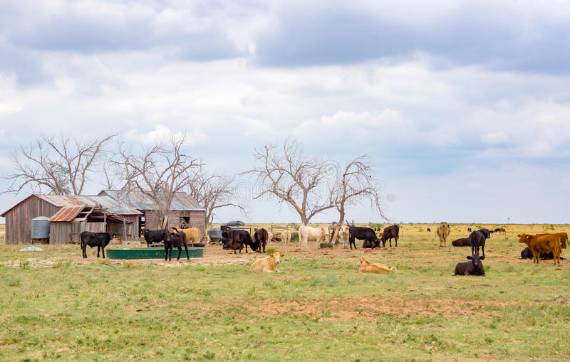 Bydło rancho, Teksas rączka rondla blisko Amarillo, Teksas, Zlany stan fotografia royalty free