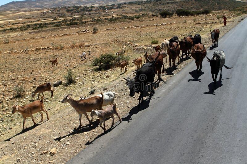 Bydło rozpłodniki w Etiopia zdjęcie stock