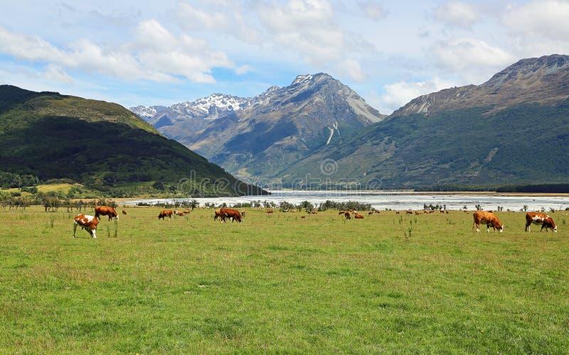 Bydło w Południowych Alps obrazy stock