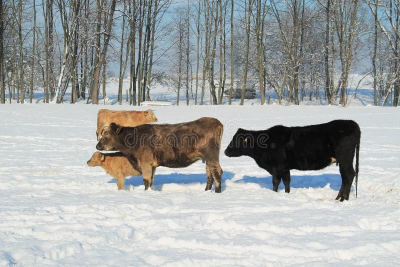Bydło w zimie zdjęcie royalty free