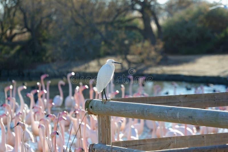 Download Bydła Egret I Wielcy Flamingi Obraz Stock - Obraz złożonej z odbicie, przyroda: 41952549