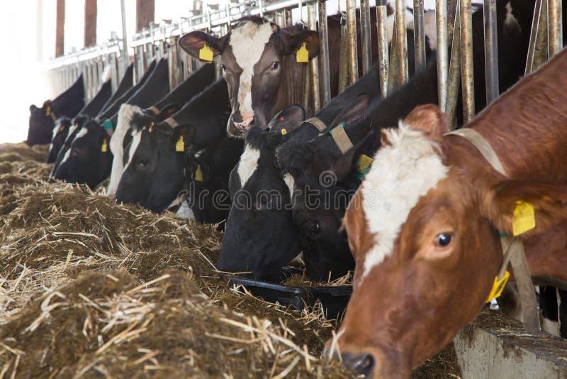 Bydlęcia karmienie w stajni przy gospodarstwem rolnym obraz stock