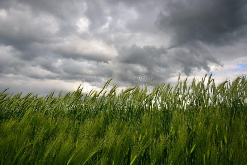 Bygd med vetefältet och illavarslande stormig himmel arkivbilder