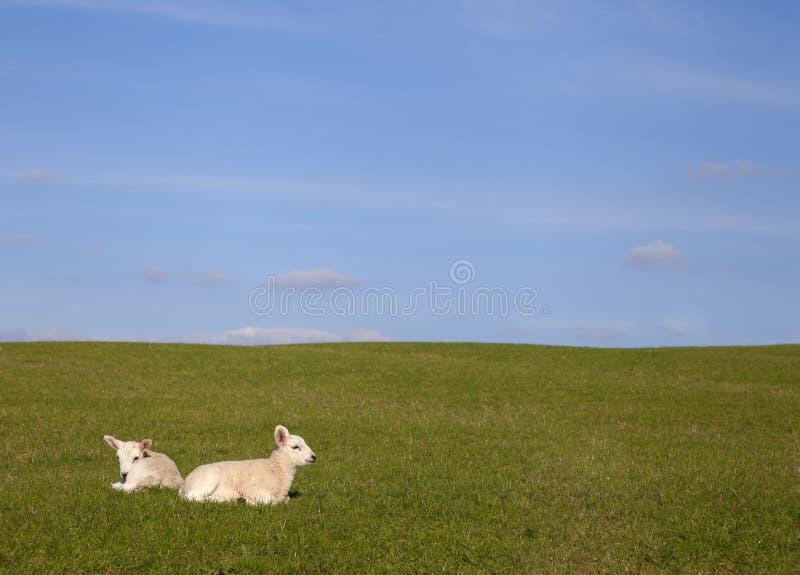 Bygdbakgrund med lamm royaltyfria bilder