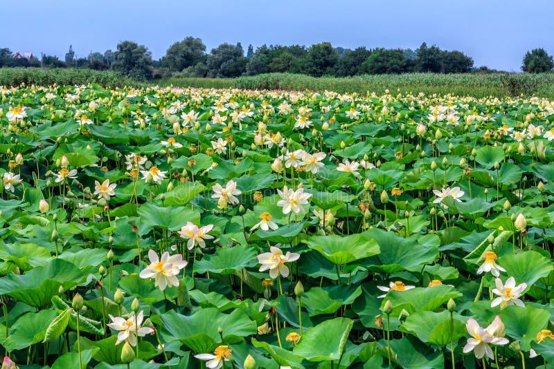 Bygdkoloni av kräm- vita blommande lotusblommablommor med gröna sidor som växer i sjövatten Härlig scenisk solig dag arkivfoto