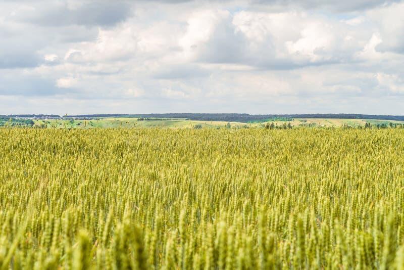 Bygdlandskapet med gräsplaner av mognande vete gå i ax Jordbruks- kolonibakgrund med inskränkt djup av fältet royaltyfri foto
