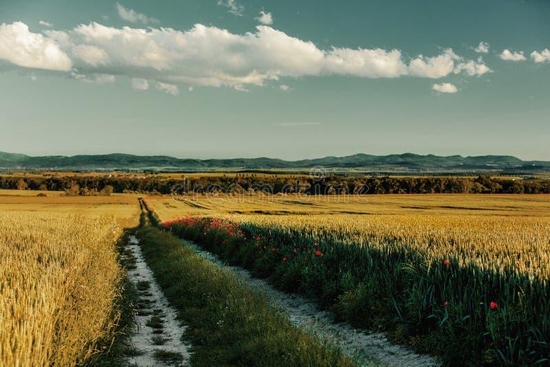Bygdväg mellan vetefält i Silesia, Polen royaltyfria foton