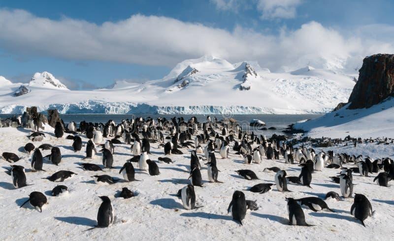 Bygga bo den Chinstrap pingvinkolonin, Halfmoonö, Antarktis royaltyfri fotografi