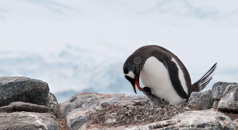 Bygga bo den vuxen människaGentoo pingvinet med den unga fågelungen, antarktisk halvö arkivfoto