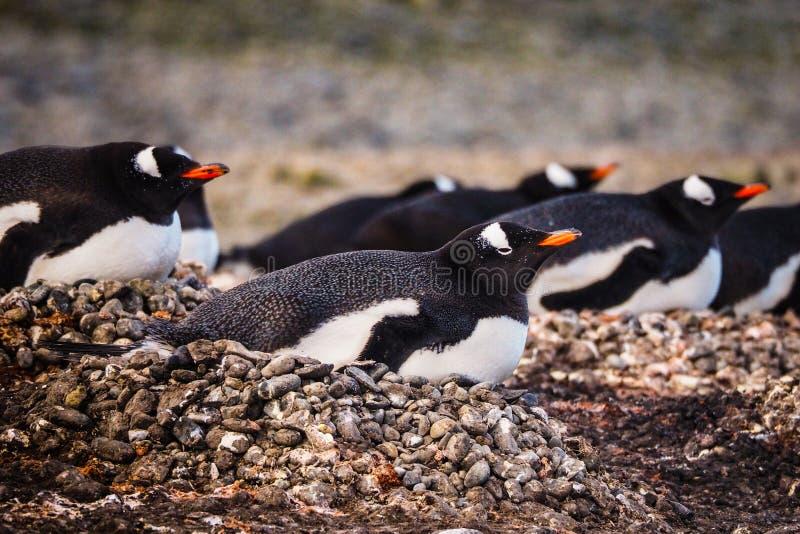 Bygga bo f?r Gentoo pingvin royaltyfri foto