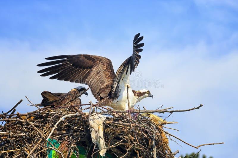 Bygga bo Ospreys arkivfoton