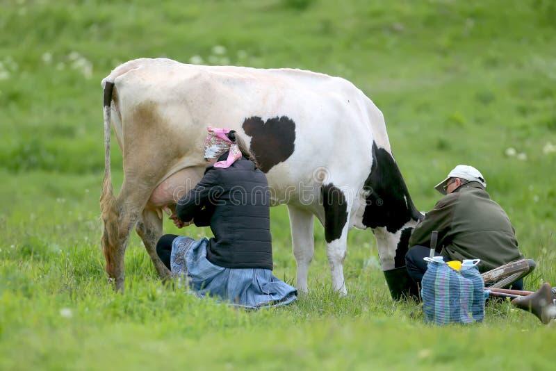 Byinvånare mjölkar kon vid handen arkivbilder