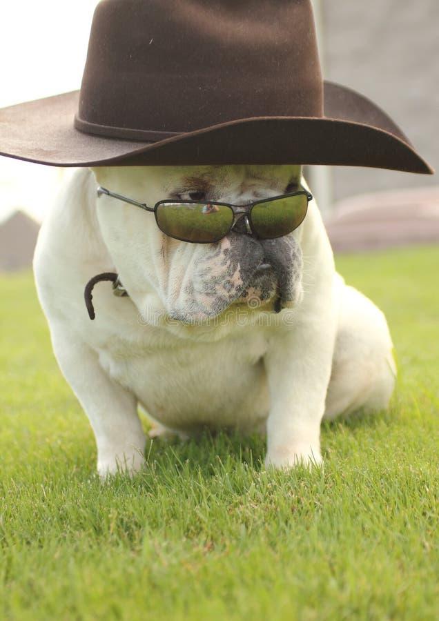 byków okulary przeciwsłoneczne psi angielscy kapeluszowi zdjęcia stock
