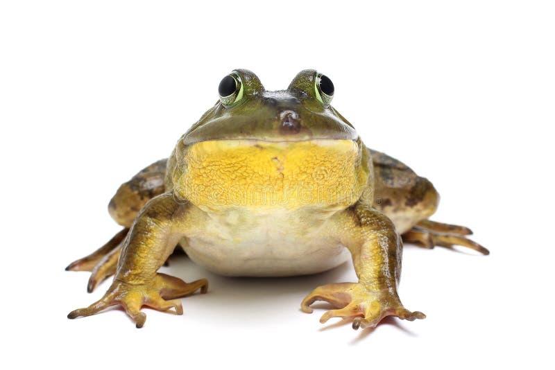 byk żaba zdjęcie royalty free