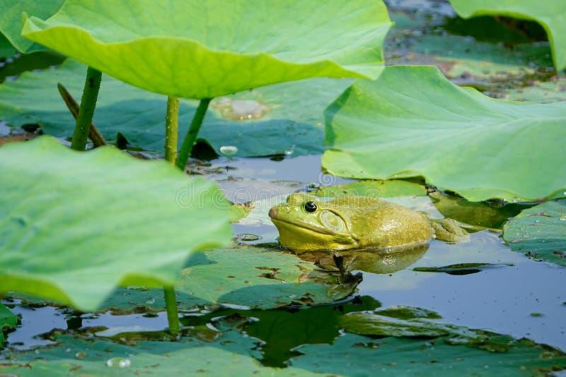 byk żaba fotografia stock