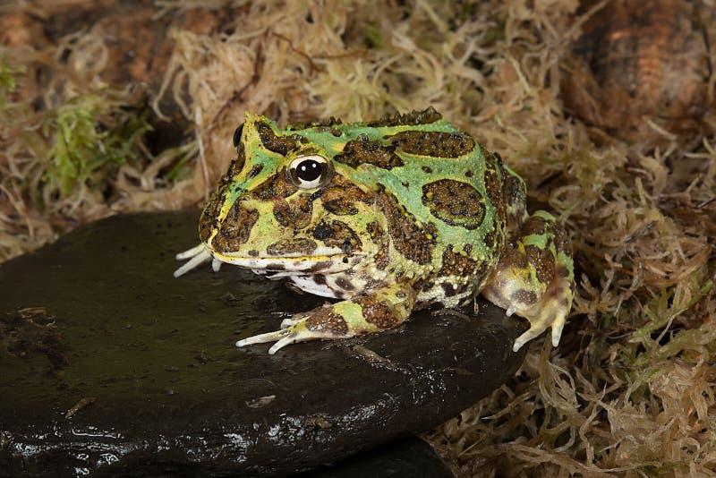 byk żaba obraz stock