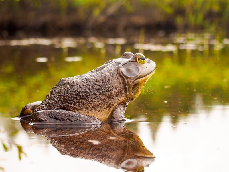 Byk żaba która relaksuje na krawędzi jeziora zdjęcie stock