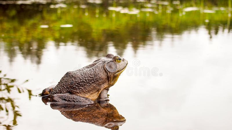 Byk żaba która relaksuje na krawędzi jeziora zdjęcia royalty free