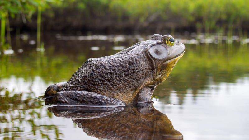 Byk żaba która relaksuje na krawędzi jeziora obraz royalty free