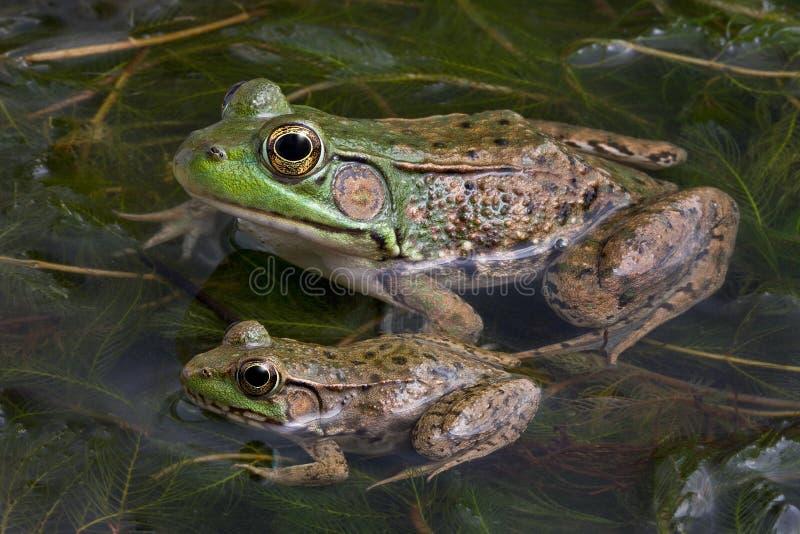 byk żaby dwa zdjęcie stock