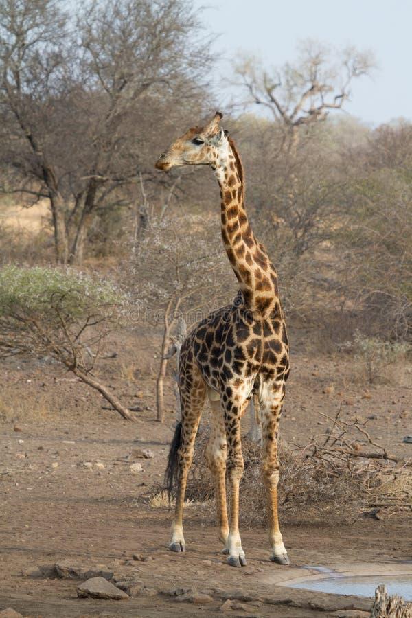byk dorosła żyrafa zdjęcia stock