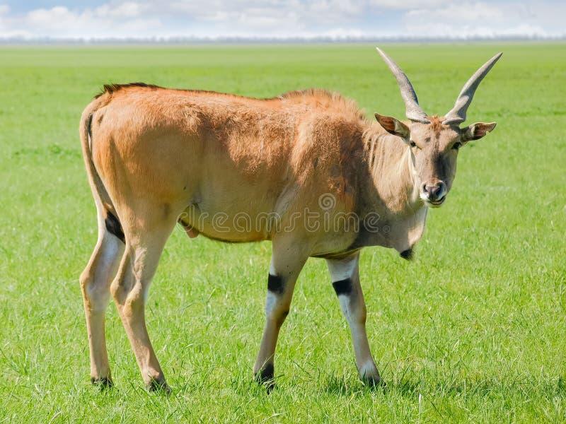 Byk eland antylopa w stepie obraz royalty free