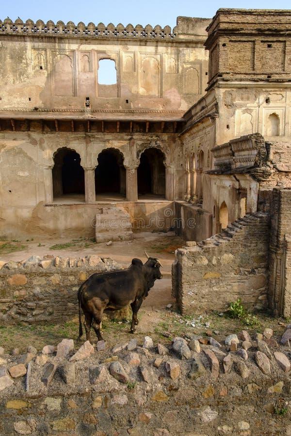 Byk przy pałac w Orchha obrazy royalty free