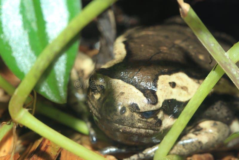 byk skrzyknąca żaba zdjęcie stock